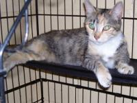 Domestic Short Hair - Syrup - Medium - Young - Female -