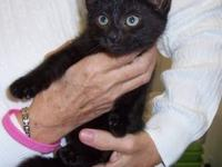 Domestic Short Hair - Taffy - Medium - Baby - Female -
