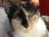 Domestic Short Hair - Teeza - Medium - Adult - Female -