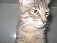 Domestic Short Hair - Tommy - Medium - Young - Male -