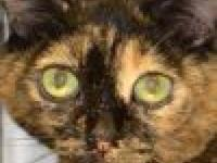 Domestic Short Hair - Tutu - Large - Adult - Female -