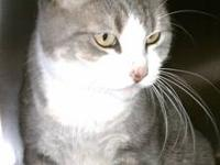 Domestic Short Hair - Twinkie - Small - Senior - Male -