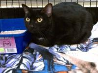 Domestic Short Hair - Valentino - Large - Adult - Male
