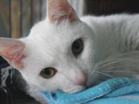 Domestic Short Hair - White - Alfred - Medium - Adult -