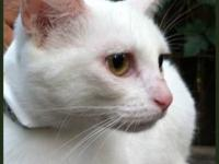 Domestic Short Hair - White - Haleesi - Small - Young -