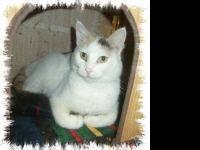 Domestic Short Hair - White - Yuki - Medium - Adult -