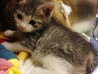Domestic Short Hair - William - Medium - Baby - Male -