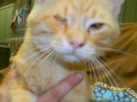 Domestic Short Hair - Willie - Medium - Adult - Male -