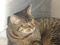 Domestic Short Hair - Willow - Medium - Young - Female