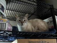 Domestic Short Hair - Wilma - Large - Adult - Female -