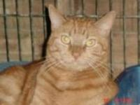 Domestic Short Hair - Winston - Large - Young - Male -
