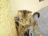 Domestic Short Hair - Zanie - Small - Baby - Female -