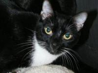Domestic Short Hair - Zena - Small - Adult - Female -