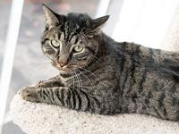 Domingo's story Domingo is a handsome brown tabby