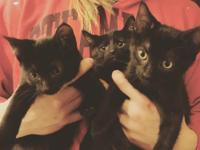 These young male mini-house-panthers are the 3 Amigos: