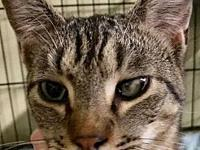 Domino's story I am a very sweet and lovable male tabby