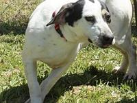 Dominoe's story Domino is a spayed female Jack Russel