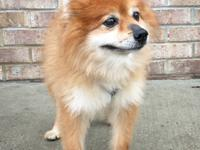 DONAMUS is a 9 year old male Pomeranian-mix who is