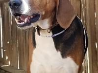 Donatello is a 6 year old American foxhound who was