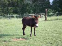 4 year old male donkey. Has been with cows and goats.