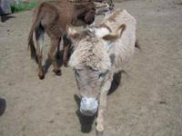 Donkey - Blondee - Medium - Young - Female - Horse