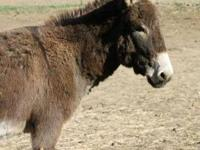 Donkey - Casey - Large - Adult - Male - Horse Casey was