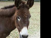 Donkey - Maggie - Medium - Adult - Female - Horse