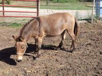 Donkey - Seymore - Medium - Adult - Male - Horse If