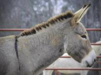 Donkey - Willie - Large - Adult - Male - Horse Willie