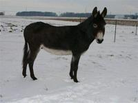 Donkey - Nester - Medium - Adult - Male - Horse Nester