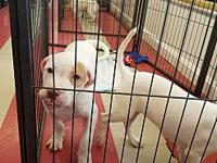 Donnie's story Meet sweet Donnie, a male pit bull mixed