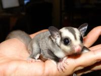 baby male and female  sugar gliders ready to leave