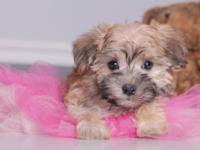 Dora is one of the cutest morkies we have ever seen.