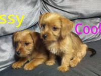 Cookie and sissy are dorkie young puppies. They were