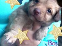 Gorgeous DORKIE puppies. Female and male available. 8