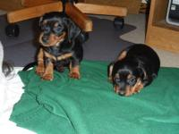 """Mini Dachshund/Yorkie Hybrid"" My puppies are all"