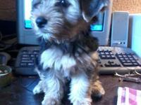 wonderful dorkie puppies, 11 weeks old. working on