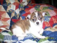 "I have a Female ""Double Coat"" Chihuahua young puppy."