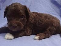 Lovable Male Chocolate Double Doodle. Mother is a