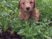 Beautiful GOLDENDOODLE puppy; F2B.    Doodle