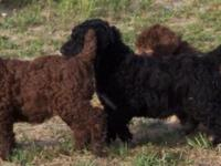 Standard Poodle puppies. AKC & CKC registered. 1st