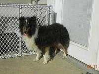 Deuce is a beatiful Black, white & tan Sheltie. He is a