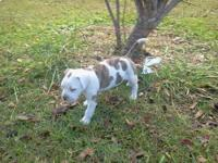 2 Female American Bulldog pups...ready for a loving