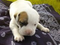 NKC/CKC Registered American Bulldog Pups. 4 Weeks Old.