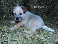 Absolutely adorable Blue Heeler pups available! Puppies