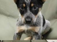 Absolutely adorable Blue Heeler puppies coming soon! We