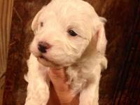 I have 5 gorgeous Maltipoo puppies. 3 females and 2