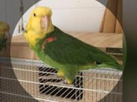 I have a magna double yellow headed for sale 100% male