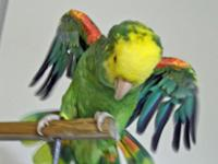 Sambra (Birdie), hilarious and lovely Double Yellow