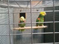 Proven breeding pair 15 years old, parents will sit and